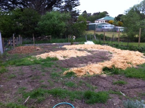 The straw gardens into which the potatoes are now planted.
